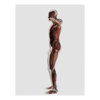 Anatomy Of Male Muscular System, Side View 3 Postcard