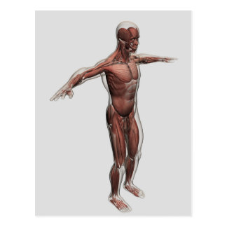 Anatomy Of Male Muscular System, Side View 4 Postcard