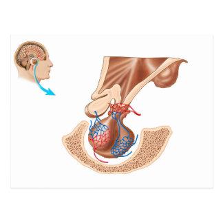 Anatomy Of Pituitary Gland Postcard
