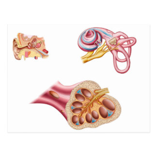 Anatomy Of The Cochlear Duct In The Human Ear Postcard