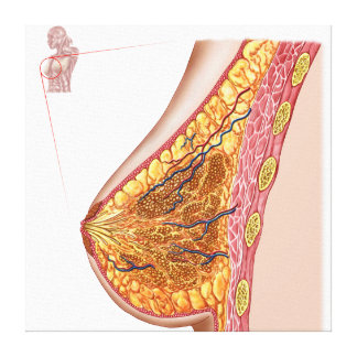 Anatomy Of The Female Breast Canvas Print