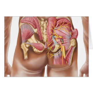 Anatomy Of The Gluteal Muscles In Buttocks Card