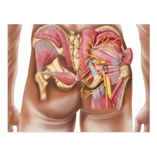 Anatomy Of The Gluteal Muscles In Buttocks Postcard