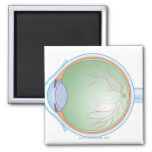 Anatomy of the Human Eye 2 Inch Square Magnet