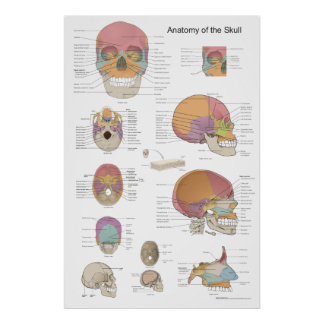 Anatomy of the Human Skull 24 X 36 Poster
