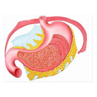Anatomy Of The Human Stomach Postcard