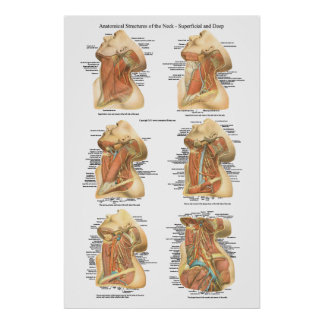 Anatomy of the Neck Chart Superficial & Deep Layer