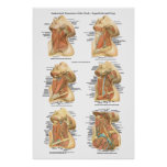 Anatomy of the Neck Chart Superficial & Deep Layer Poster