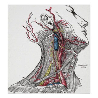 Anatomy of the Neck Poster Print