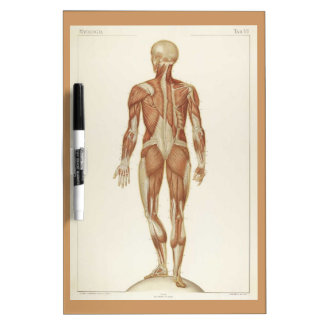 Anatomy Posterior Vintage Drawing Dry-Erase Whiteboard