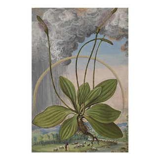 Ancient Botanical Art Broadleaf Plaintain Poster