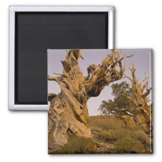 Ancient Bristlecone Forest, White Mountains, CA 2 Inch Square Magnet