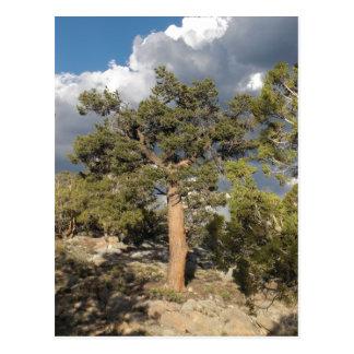 Ancient Bristlecone Pine Forest Postcard
