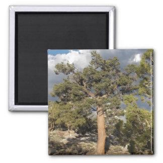 Ancient BristleCone Pine Tree Magnet