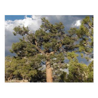 Ancient BristleCone Pine Tree Postcard