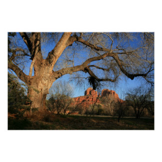 Ancient Cottonwood at Cathedral Rock Poster