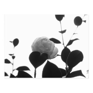 Ancient cultivar of Camellia japonica flower Postcard