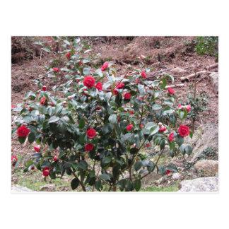 Ancient cultivar of Camellia japonica flower Postcard