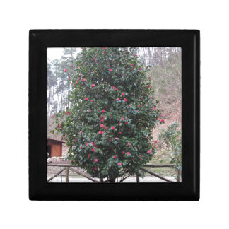 Ancient japanese cultivar of Camellia japonica Gift Box