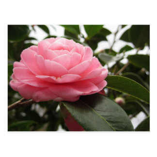 Ancient japanese cultivar of pink Camellia Postcard
