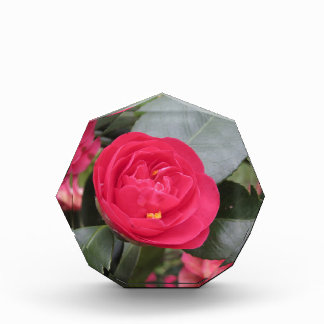 Ancient japanese cultivar of red Camellia japonica Acrylic Award