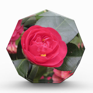 Ancient japanese cultivar of red Camellia japonica Award