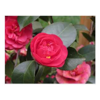 Ancient japanese cultivar of red Camellia japonica Postcard