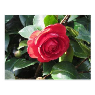 Ancient japanese cultivar of red Camellia japonica Postcard