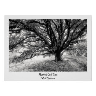 Ancient Majestic Oak Tree poster in Black & White