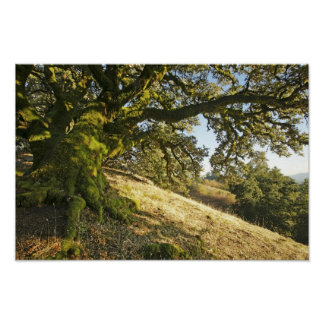 Ancient Oak Tree Poster