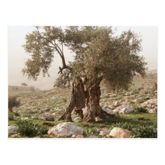 ancient olive tree from north of jordan postcard