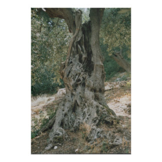 Ancient Olive Tree Poster