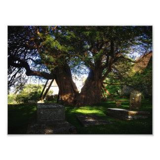 Ancient Yew Photo Art