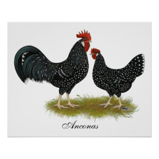Ancona Chickens Poster