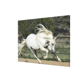Andalusian Stallion running, PR Canvas Print