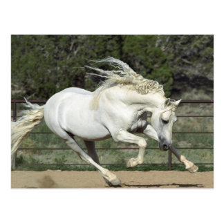Andalusian Stallion running, PR Postcard