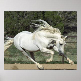Andalusian Stallion running, PR Poster