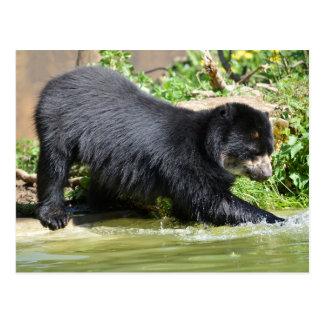 Andean bear in water postcard