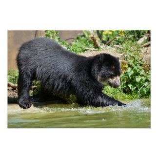 Andean bear in water poster