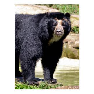Andean bear postcard