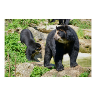 Andean bears poster