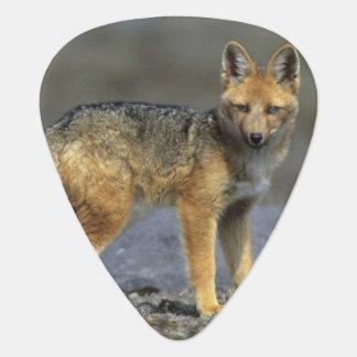 Andean Fox, (Dusicyon culpaeus), Paramo Cotopaxi Guitar Pick