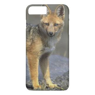 Andean Fox, (Dusicyon culpaeus), Paramo Cotopaxi iPhone 8 Plus/7 Plus Case