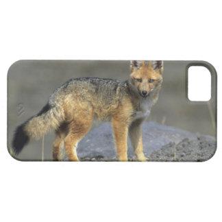 Andean Fox, (Dusicyon culpaeus), Paramo Cotopaxi iPhone SE/5/5s Case