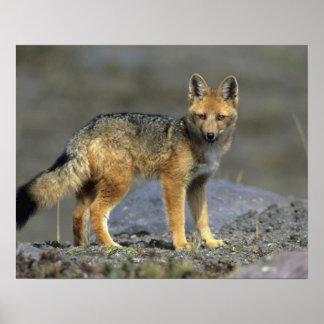 Andean Fox, (Dusicyon culpaeus), Paramo Cotopaxi Poster