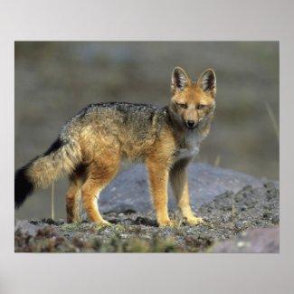 Andean Fox, (Dusicyon culpaeus), Paramo Cotopaxi Posters