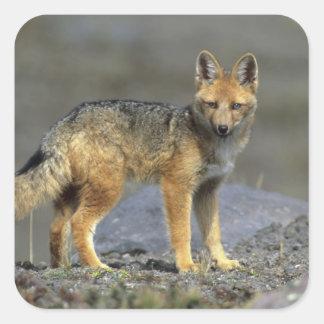 Andean Fox, (Dusicyon culpaeus), Paramo Cotopaxi Square Sticker