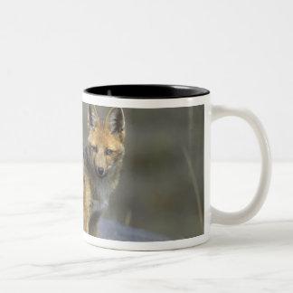Andean Fox, (Dusicyon culpaeus), Paramo Cotopaxi Two-Tone Coffee Mug