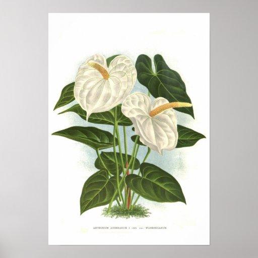 Andreanum del Anthurium Impresiones