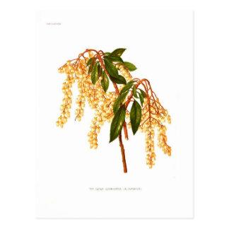 Andromeda japonica postcard